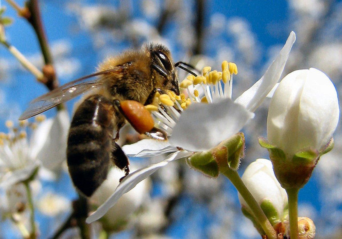 venin de albine